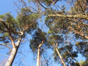 Baumwipfel auf der Lesefährte Waldweisen