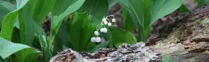 Maiglöckchen auf dem Schmöckwitzer Werder